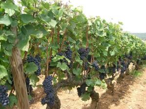 pinot noir vines burgundy PRA